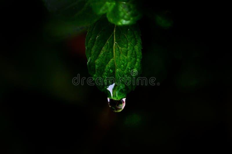 mintkaramellblad på min trädgård Kan använda för studie eller reklamfilm royaltyfri fotografi
