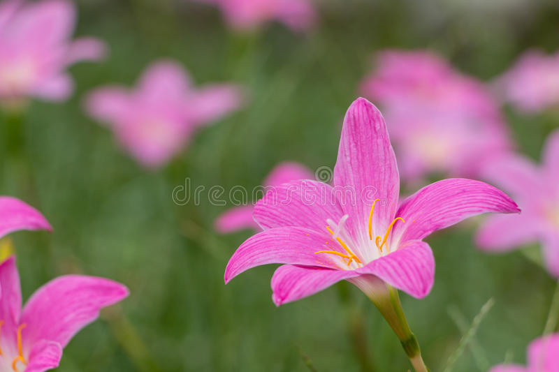 Minuta de Zephyranthes images libres de droits