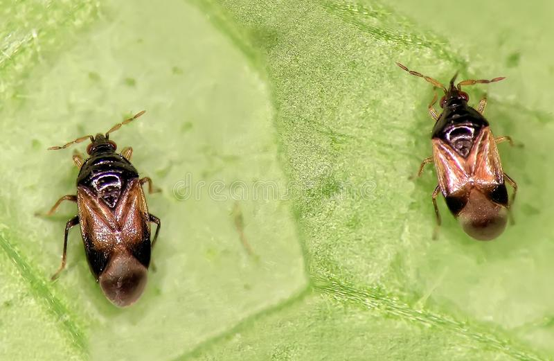 Minute pirate bug. Orius laevigatus Hemiptera: Anthocoridae royalty free stock images