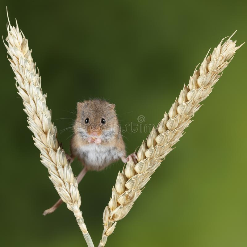 Minutus bonito adorável dos micromys dos ratos de colheita na haste do trigo com fundo verde neutro da natureza imagens de stock royalty free