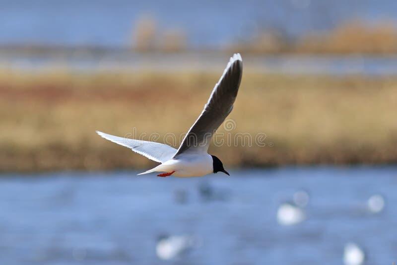 Minutus del Larus Poco gaviota mientras que vuela sobre el lago en la península de Yamal fotos de archivo