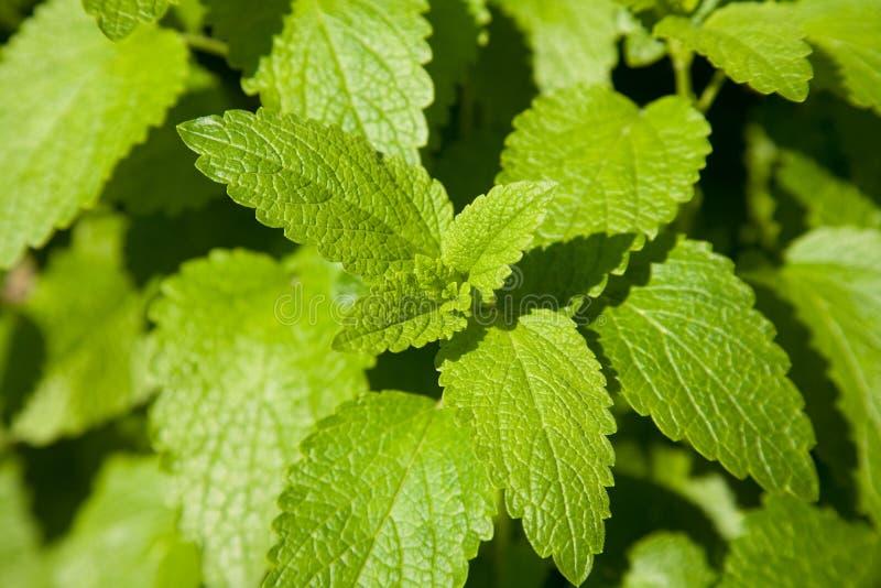 Download Minze - menthe imagem de stock. Imagem de jardim, verde - 16858207