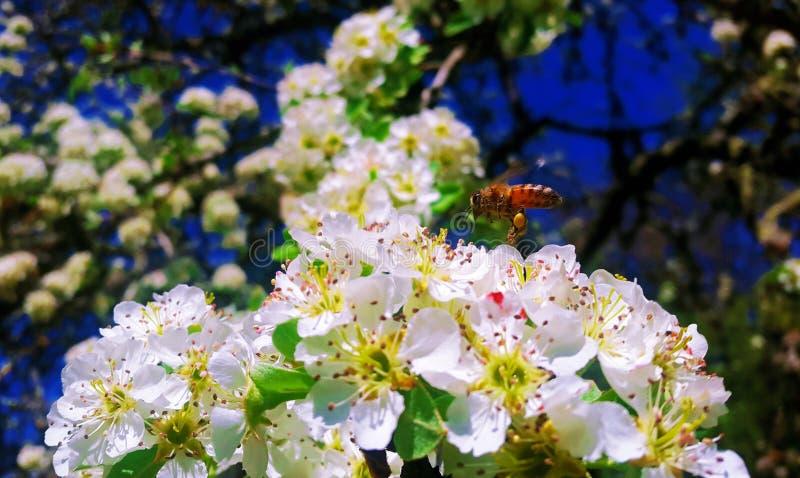 Miodowa pszczoła bierze nektar wokoło Siena zdjęcia royalty free