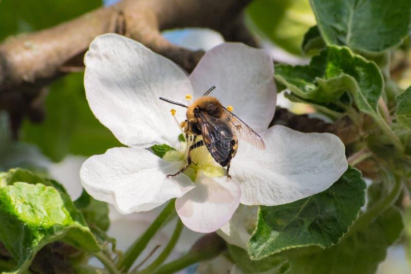 Miodowa pszczoła, ekstrahujący nektar od owocowego drzewa kwiatu obrazy royalty free