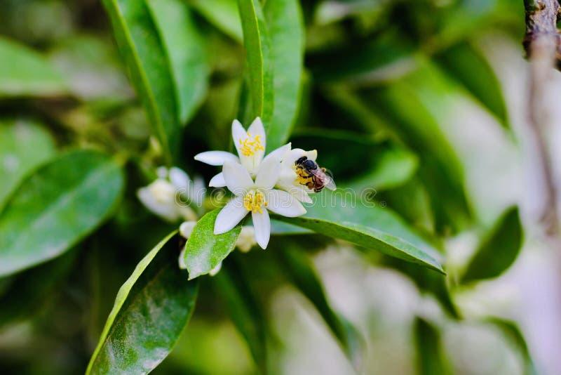 Miodowa pszczoła i kwiat zdjęcia royalty free