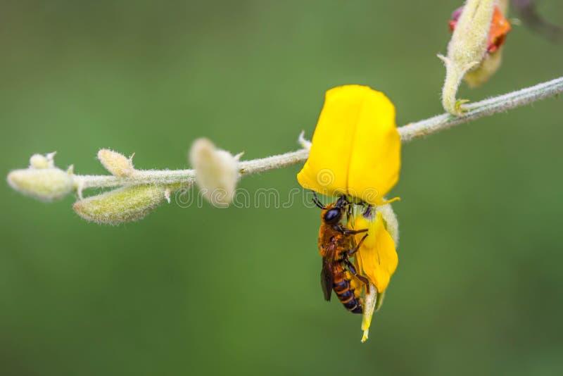 Miodowa pszczoła na żółtym Indiańskiego konopie kwiacie zdjęcie stock