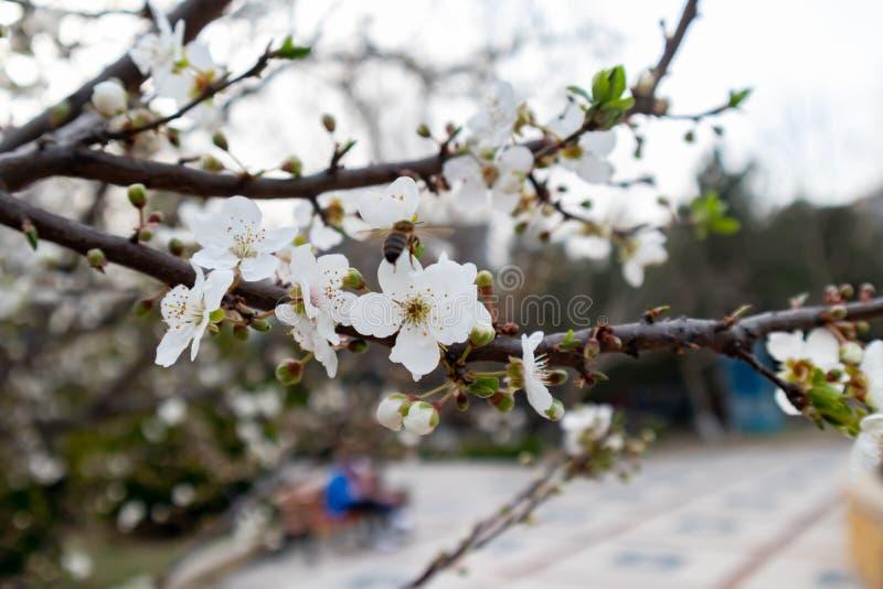 Miodowa pszczoła na białego kwiatu zbierackim pollen i nektarze robić miodowi obrazy royalty free