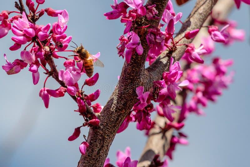 Miodowa pszczoła na Czerwonym Pączkowym Drzewnym kwiacie zdjęcie stock