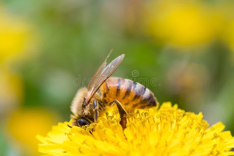 Miodowa pszczoła na Dandelion kwiacie zdjęcia stock