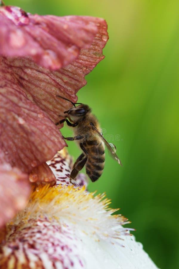 Miodowa pszczoła na kwiatu zbliżeniu zdjęcia stock