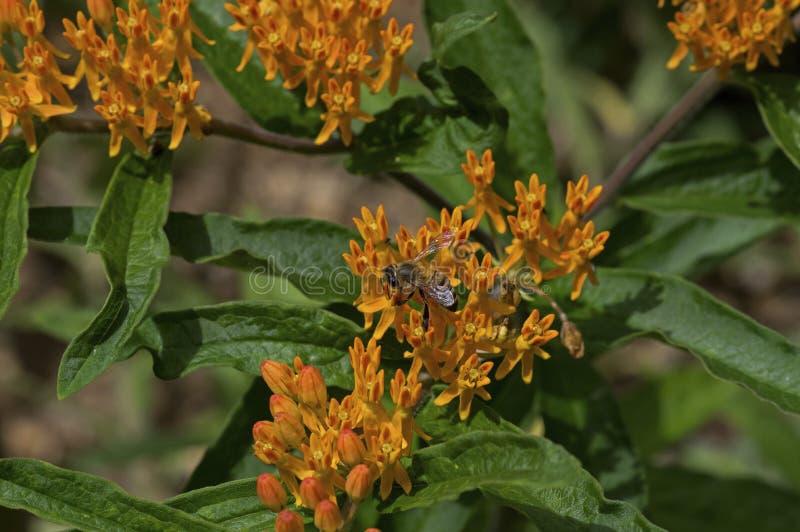 Miodowa pszczoła na Motyliej świrzepie zdjęcia royalty free