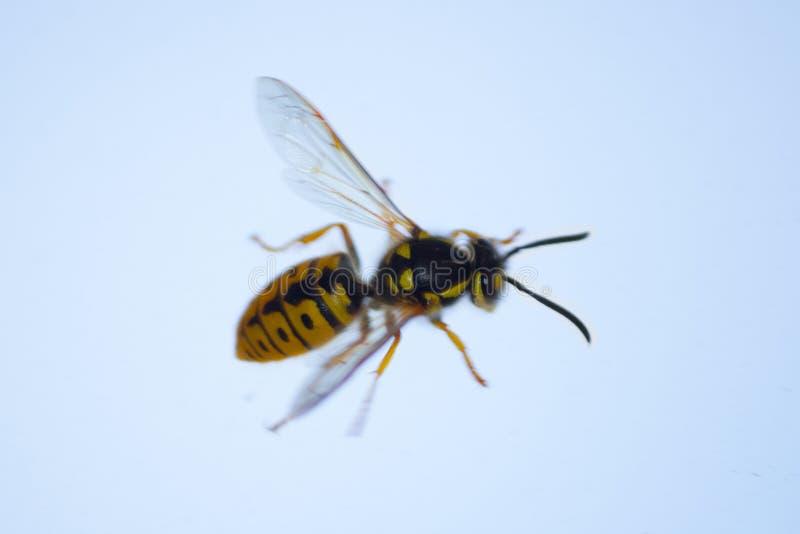 miodowa pszczoła na okno zdjęcia stock