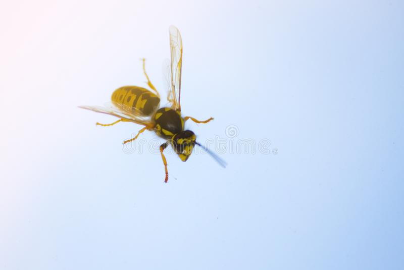 miodowa pszczoła na okno fotografia stock