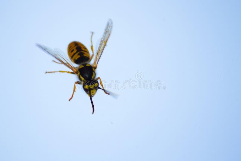 miodowa pszczoła na okno obrazy stock