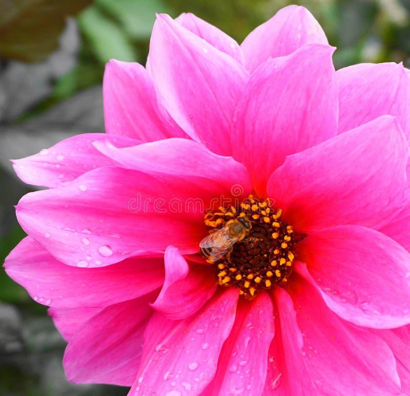 Miodowa pszczoła na pięknym dalia kwiacie z wodnymi kroplami na płatkach zamyka w górę obrazy royalty free