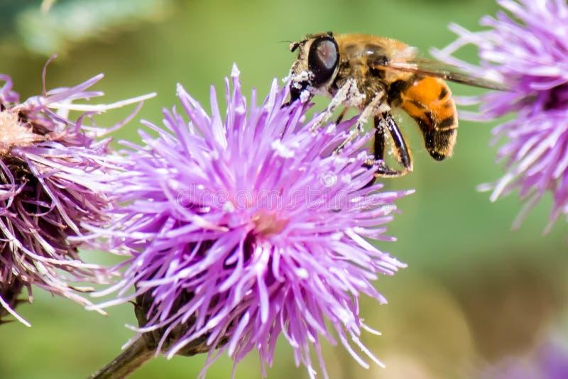 Miodowa pszczoła na purpurowym kwiacie obrazy stock
