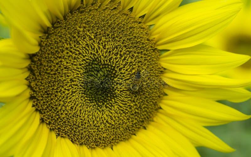 Miodowa pszczoła na słoneczniku zdjęcie royalty free