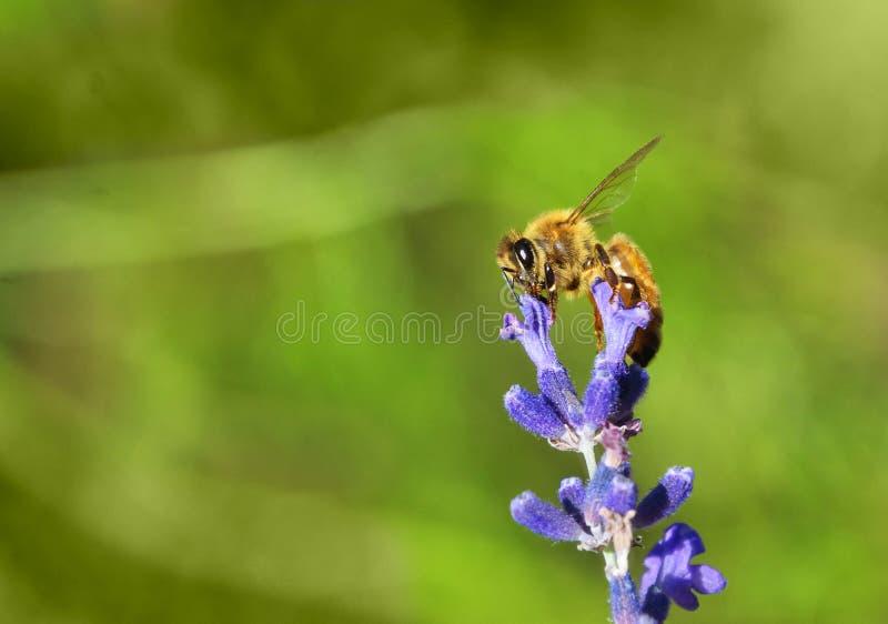 Miodowa pszczoła na sprig lawenda obraz stock