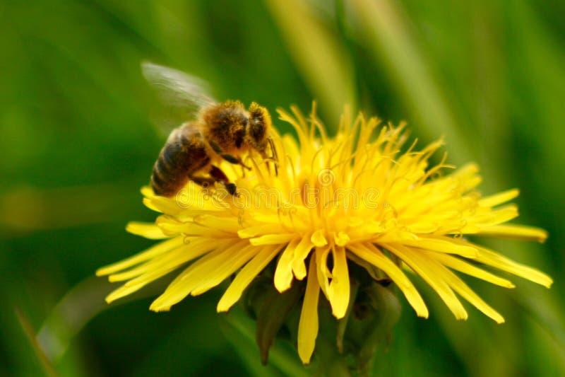 Miodowa pszczoła Pije nektar w makro- obraz royalty free