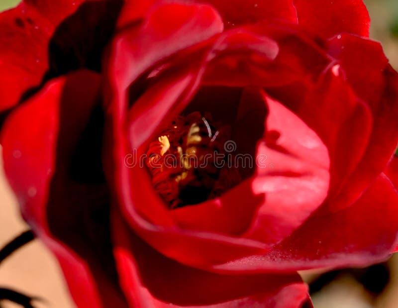 Miodowa pszczoła w rewolucjonistki róży Pollen zakończeniu obraz stock