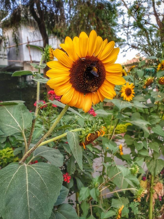 Miodowa pszczoła z słońce kwiatem zdjęcie royalty free