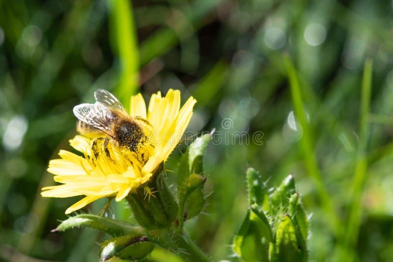 Miodowa pszczoła zakrywająca w pollen zdjęcia stock