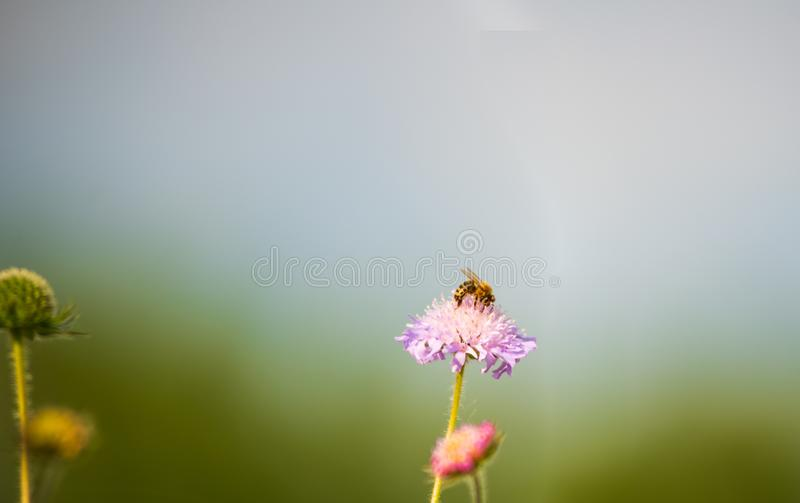 Miodowa pszczoła zapyla kwiatu w łące zdjęcia stock