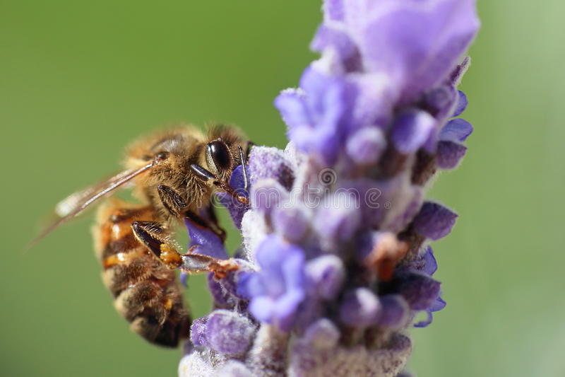 Miodowa pszczoła Zapyla lawendy zdjęcia royalty free