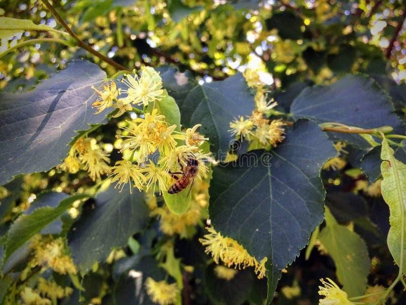 Miodowa pszczoła zapyla nektar na Lipowego drzewa okwitnięciu w lato ogródu zbliżeniu i zbiera obrazy royalty free