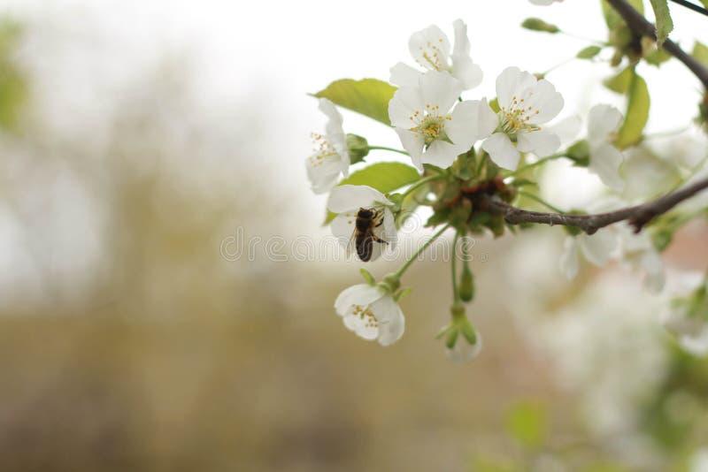Miodowa pszczoła zbiera nektar zdjęcie stock
