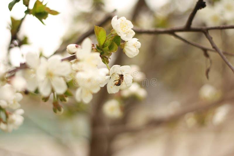 Miodowa pszczoła zbiera nektar zdjęcia stock
