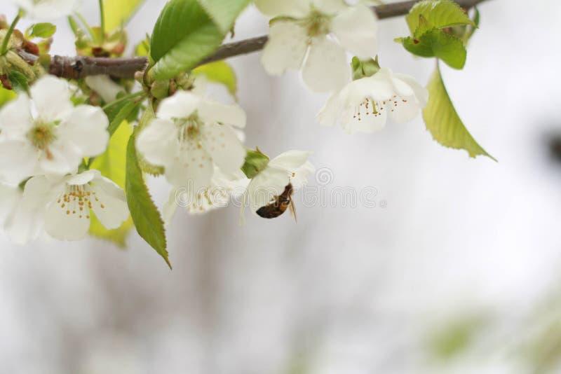 Miodowa pszczoła zbiera nektar obraz royalty free
