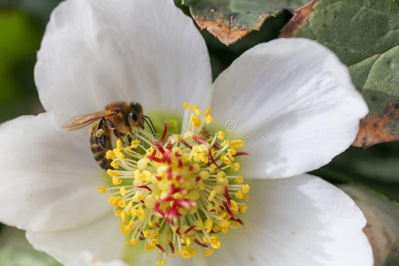 Miodowa pszczoła zbiera nektar i pollen w wczesnej wiośnie od ciemiernika, ciemierniki, Helleborus kwiatonośne rośliny w rodzinny obrazy royalty free