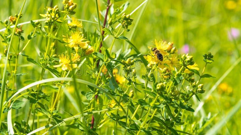 Miodowa pszczoła zbiera nektar na wildflowers w łące zdjęcia royalty free