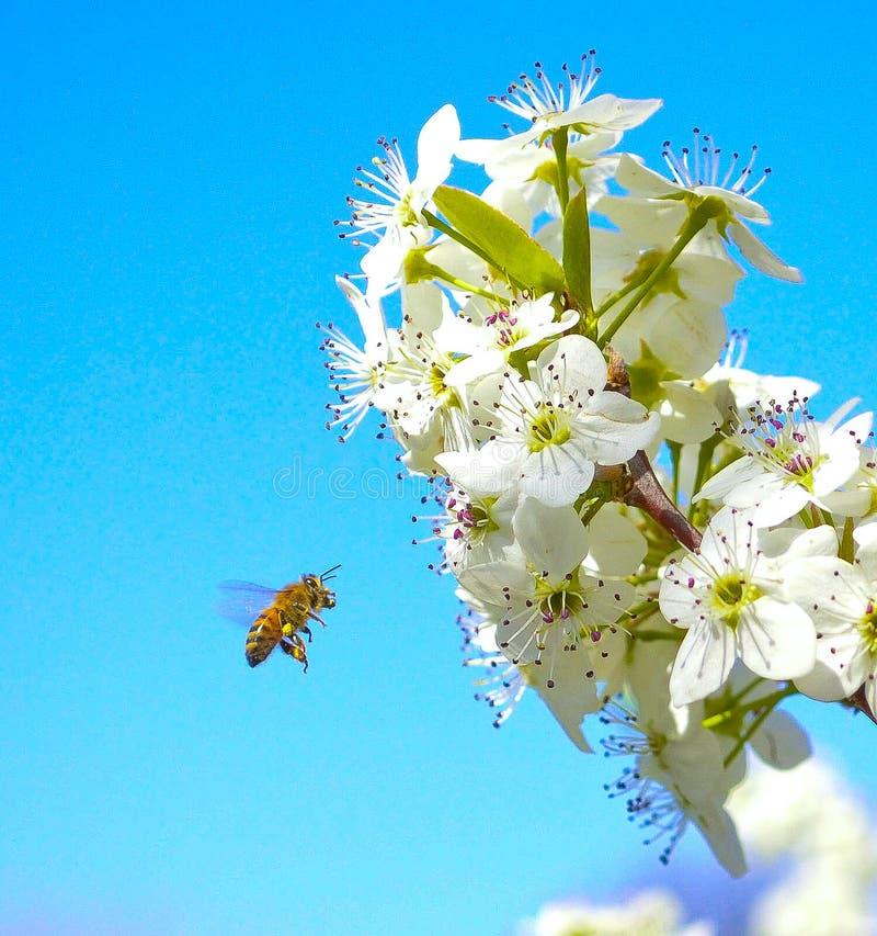 Miodowa pszczoły błogość obrazy royalty free
