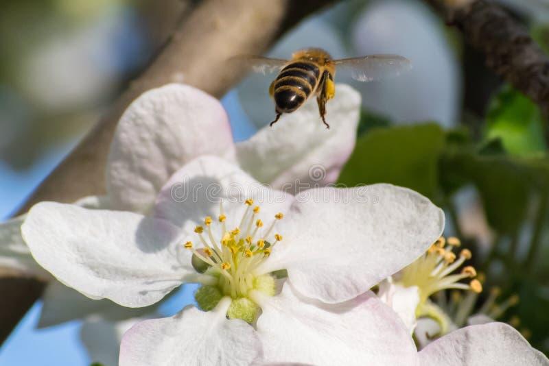 Miodowa pszczo?a, ekstrahuj?cy nektar od owocowego drzewa kwiatu zdjęcie stock