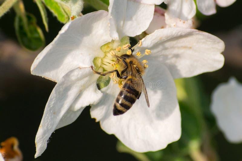 Miodowa pszczo?a, ekstrahuj?cy nektar od owocowego drzewa kwiatu obraz stock