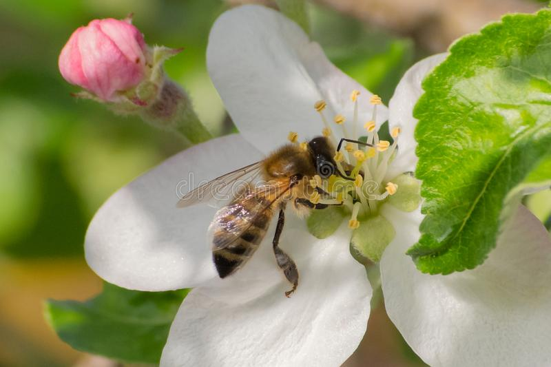 Miodowa pszczo?a, ekstrahuj?cy nektar od owocowego drzewa kwiatu zdjęcia stock