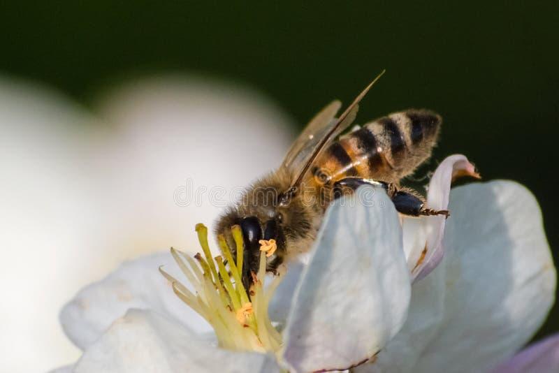 Miodowa pszczo?a, ekstrahuj?cy nektar od owocowego drzewa kwiatu fotografia stock