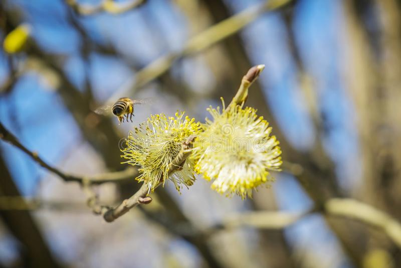 Miodowa pszczo?a zbiera nektar na kwiatono?nym drzewie fotografia stock