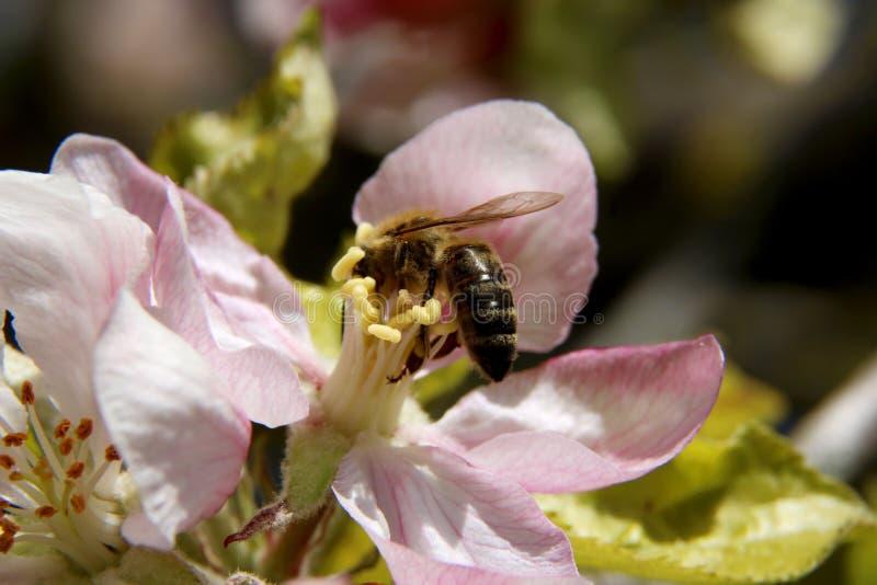 Miodowa pszczo?a zbiera nektar od kwiatu jab?o? py?ek zbierania pszcz?? fotografia royalty free