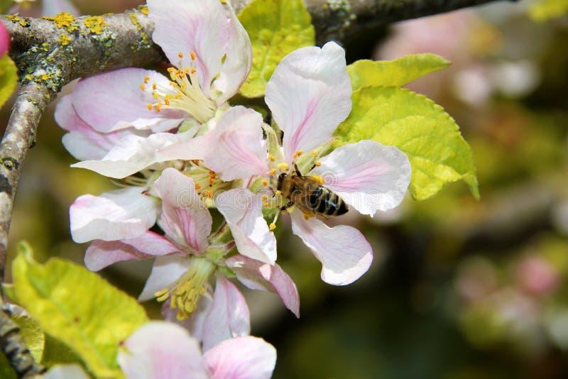Miodowa pszczo?a zbiera nektar od kwiatu jab?o? py?ek zbierania pszcz?? fotografia stock