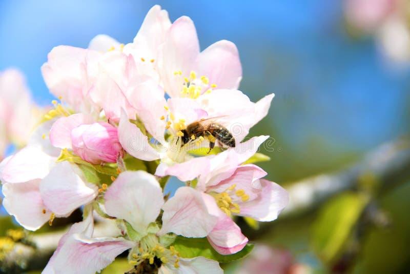 Miodowa pszczo?a zbiera nektar od kwiatu jab?o? py?ek zbierania pszcz?? obrazy stock