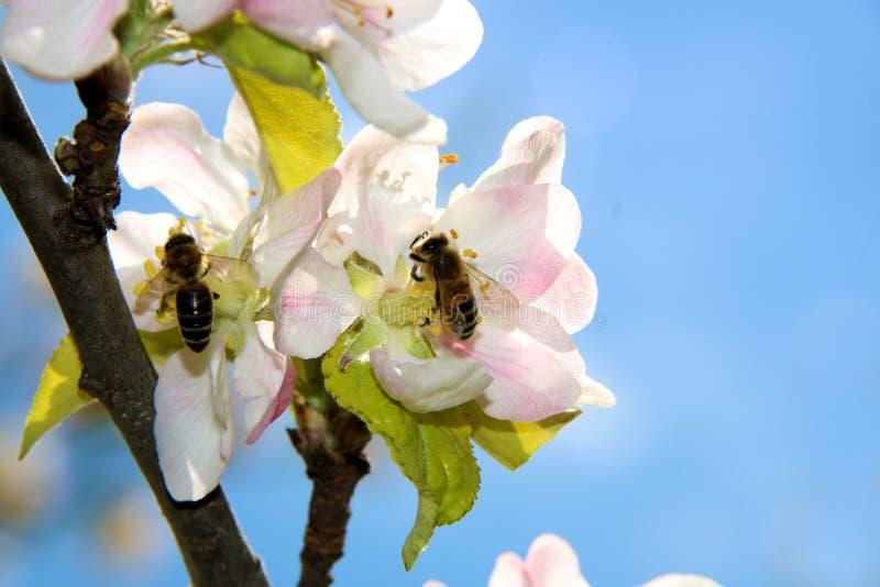 Miodowa pszczo?a zbiera nektar od kwiatu jab?o? py?ek zbierania pszcz?? zdjęcia royalty free