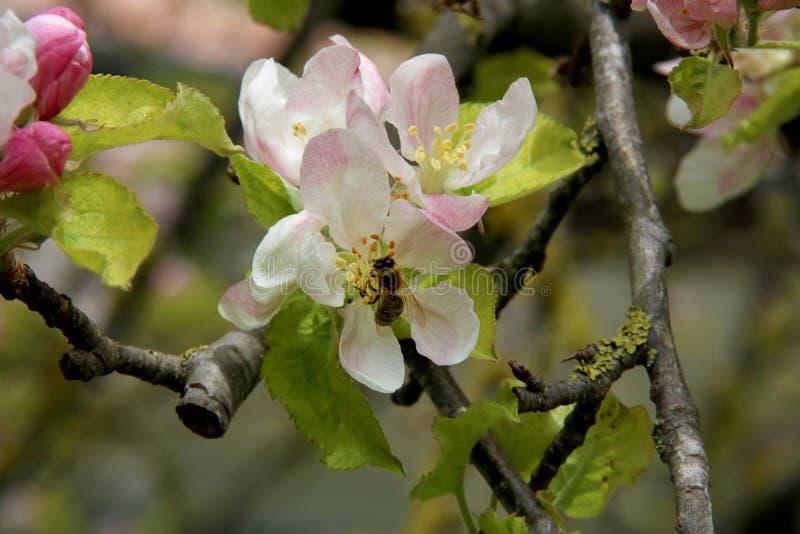 Miodowa pszczo?a zbiera nektar od kwiatu jab?o? py?ek zbierania pszcz?? obrazy royalty free