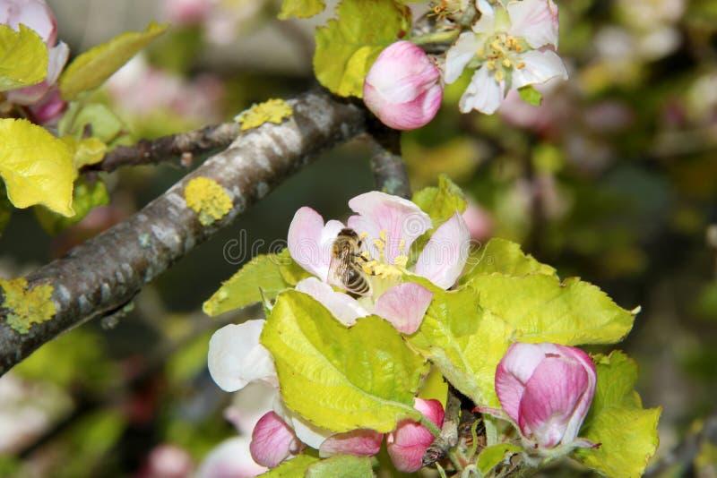 Miodowa pszczo?a zbiera nektar od kwiatu jab?o? py?ek zbierania pszcz?? obraz stock