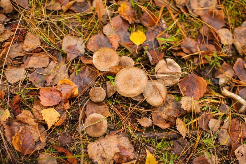 Miodowe pieczarki r w jesień lesie, sosnowych igłach i suchych kolorowych liściach na ziemi, odgórny widok obrazy royalty free