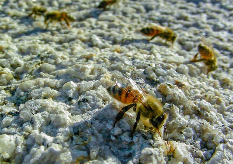 Miodowe pszczół kropelki obrazy royalty free