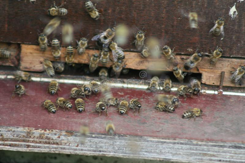 Miodowe pszczoły na wejściu ul zdjęcia stock