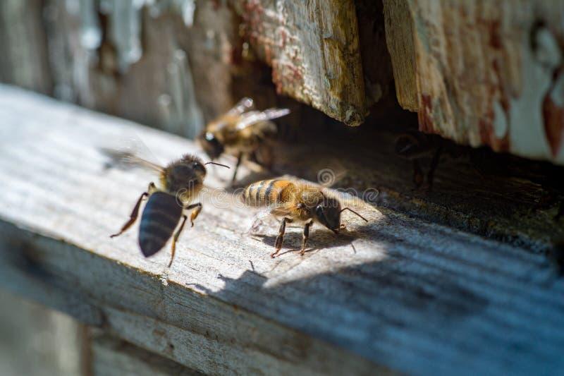 Miodowe pszczoły obok starego ulowego zakończenia obrazy royalty free
